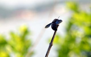 black carpenter bee