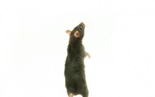 rat standing up