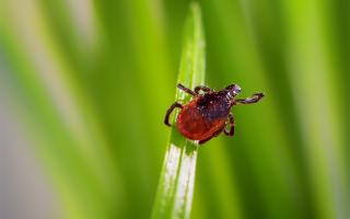 Tick on Grass