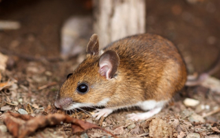 texas-mouse-most-common