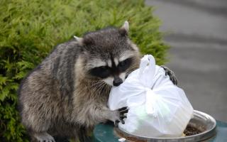 Raccoon with trash