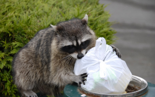 Raccoon with trash